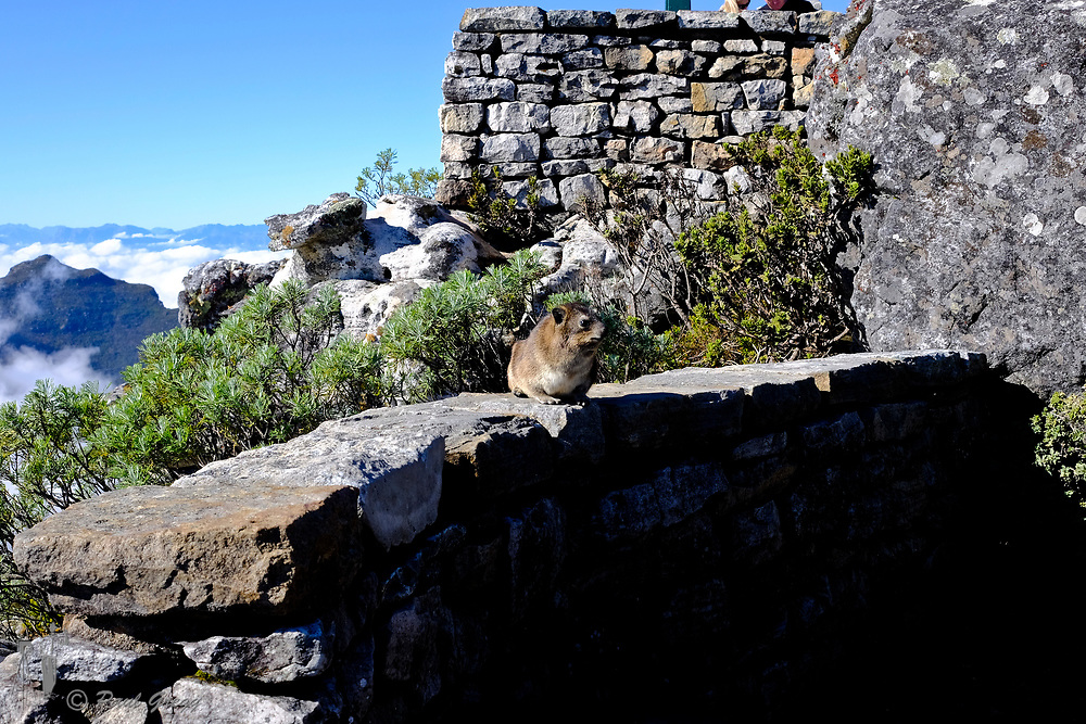Table Mountain,Cape Town, South Africa. A Rock Hyrax (Procavia capensis) or dassie sits on a wall on top of Table Mountain.