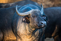 Cape Buffalo cow, Somkhanda Private Game Reserve, KwaZulu Natal, South Africa