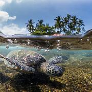 Green sea turtle near Kona, Big Island, Hawaii.
