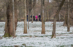 © Licensed to London News Pictures. 19/02/2017. Welford, UK.  Snowdrops form a white carpet in the woods at Welford Park near Newbury. Welford Park, where The Great British Bake Off is filmed every summer, is only open for visitors for five weeks in the year - until March 5th. Warmer temperatures are expected in the UK over the next few days after the recent cold spell.  Photo credit: Peter Macdiarmid/LNP