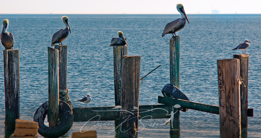 Pelicans and other shorebirds perch on pilings at the Bayou La Batre State Docks in Bayou La Batre, Ala., Nov. 23, 2012. (Photo by Carmen K. Sisson/Cloudybright)