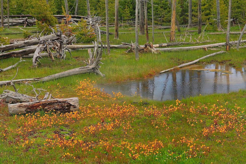 Blooming Flowers Meadow Geyser Pool - Yellowstone National Park