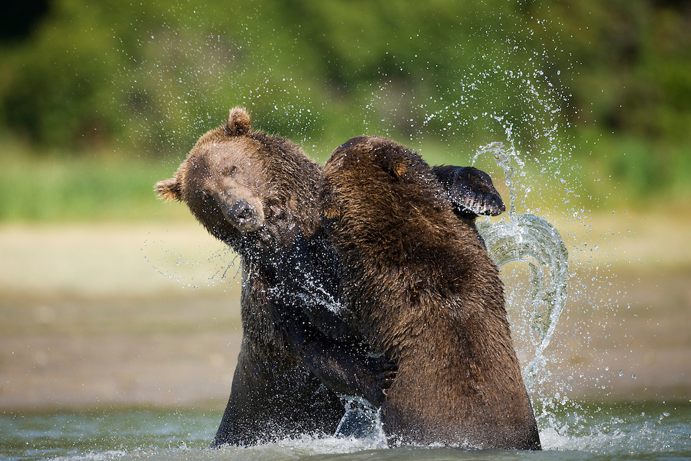 USA, Alaska, Katmai National Park, Kukak Bay, Brown Bears (Ursus arctos) sparring in shallow stream in late summer