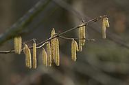 Hazelaar - Corylus avellana Nottingham Prolific