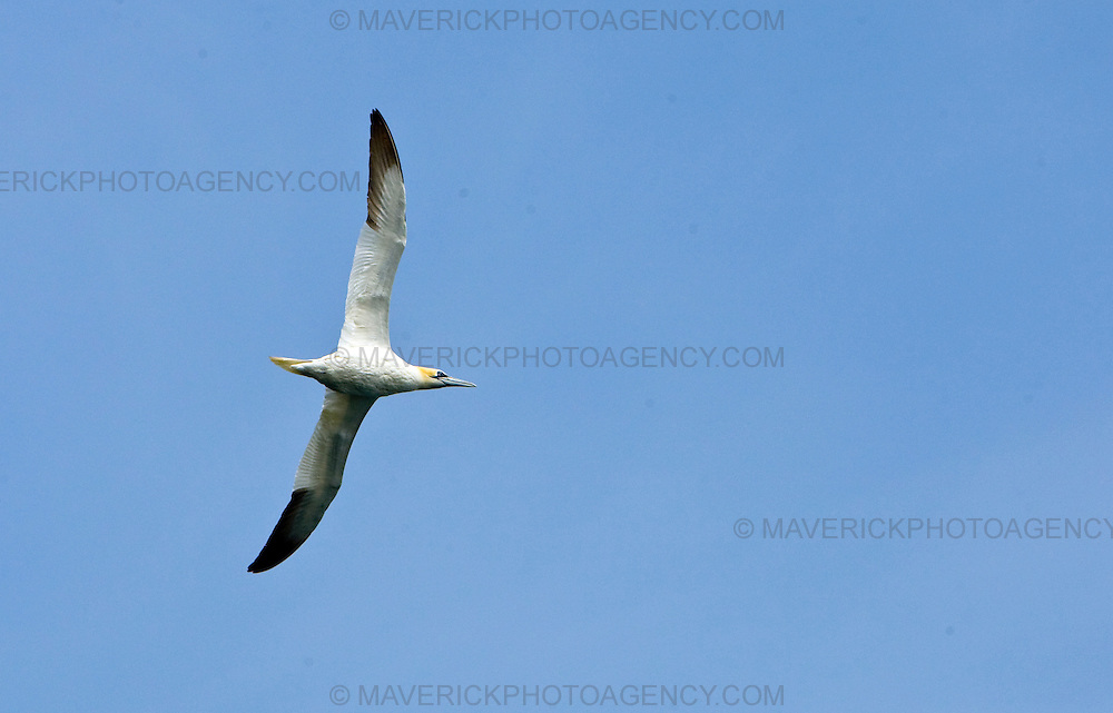 A Gannet looks for fish to feed on around Bass Rock in the River Forth. Scotland, UK..Picture Michael Hughes/Maverick ..THE GANNET is Britain's largest seabird with a wing span of just under two meters. From January onwards 140,000 Atlantic gannets return to the Bass Rock, the world's largest single rock gannet colony. Returning to the same mate and the same nest every year, they spend most of the year on the Bass, until the end of October, when the last chicks set out on their long journey down to the West Coast of Africa, with the adults returning again in January.....