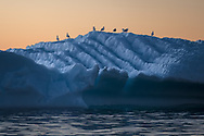 A total of 235 species of birds have been observed in Greenland.<br />  The majority of Greenland's birds are migratory birds and there are therefore only around 60 species that are regarded as permanent breeders in the country.
