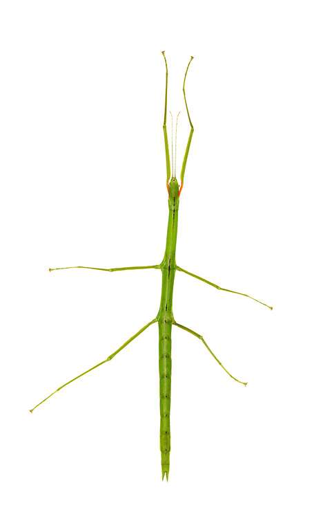 Smooth Stick Insect - Cliltarchus hookeri