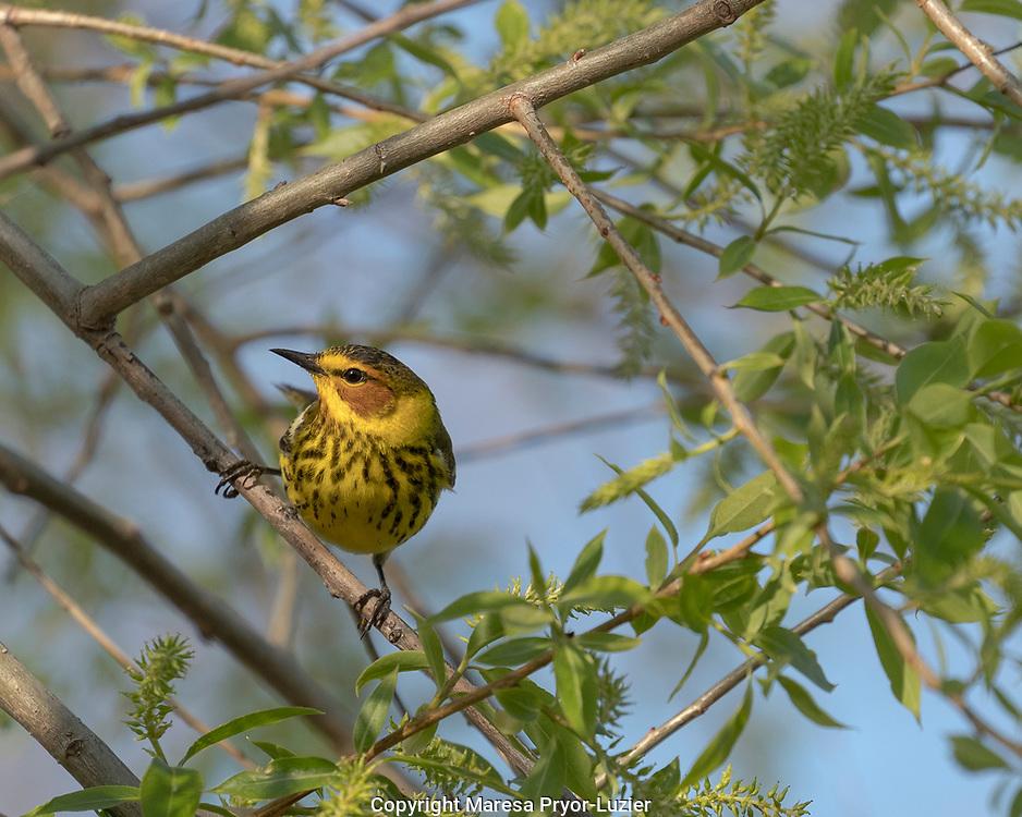 Cape May warbler, Dendroica tigrina, Magee Marsh Wildlife Area, Oregon, Ohio