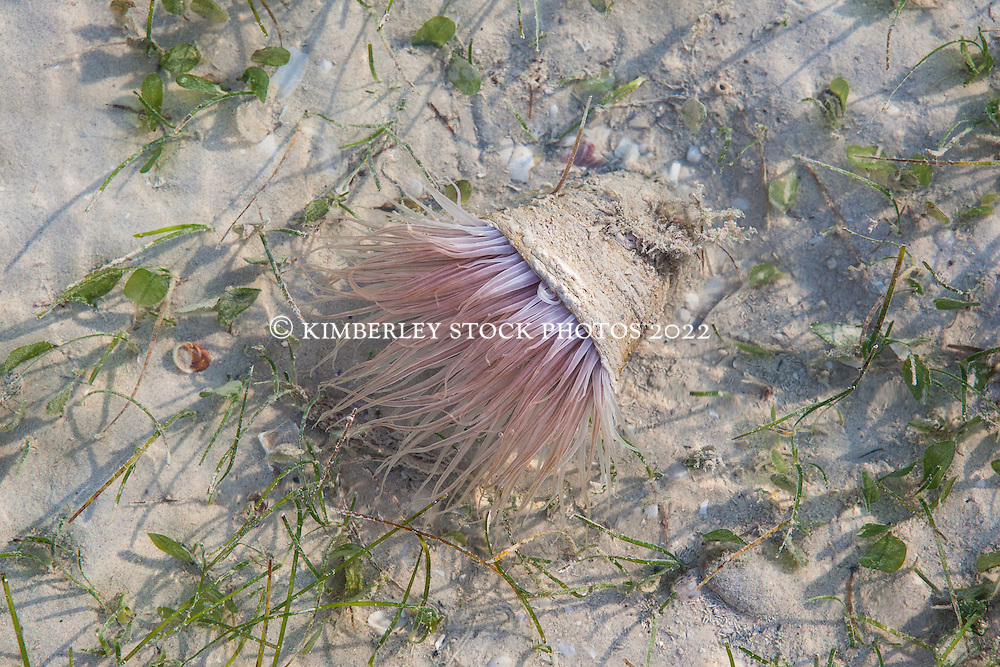 A sand anemone at Town Beach, Broome, Western Australia
