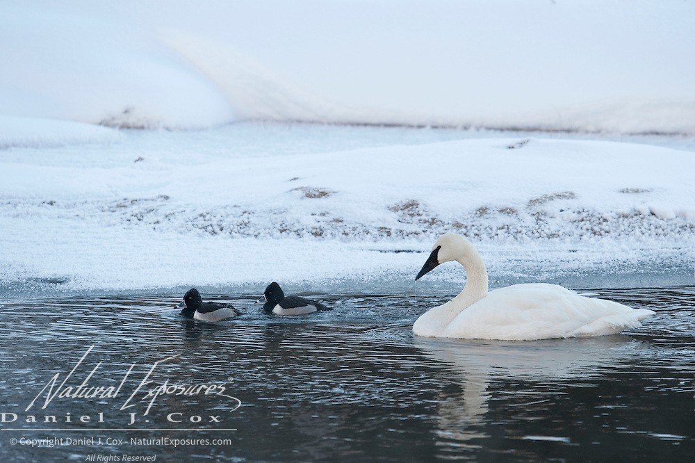 Trumpeter Swan and Golden Eye ducks on the  Madison river, Yellowstone National Park, Wyoming.