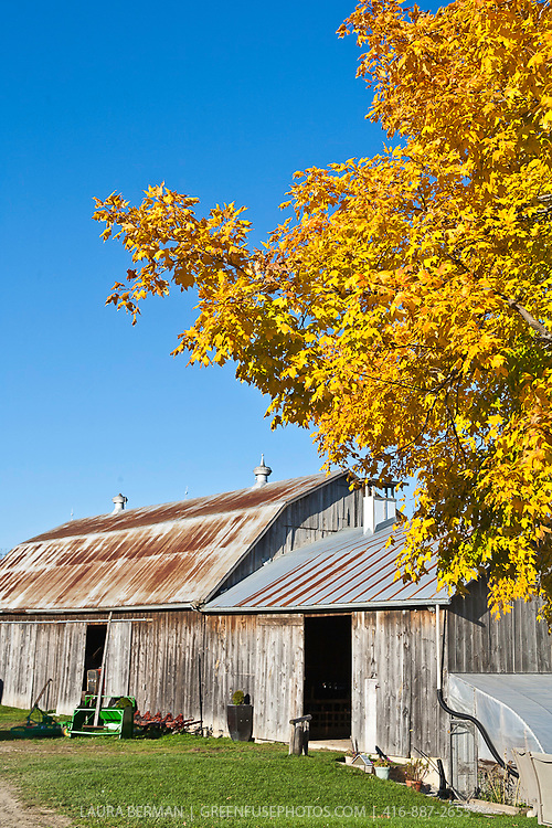 Barn and bright golden maple tree in autumn under a bright blue sky.