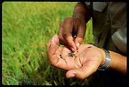 Grains of red rice, known by black hull, sit in farmer's hand; it is a weed (invader) species. Brazil