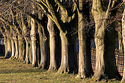 Avenue of beech trees in Asthall Leigh, Oxfordshire, United Kingdom
