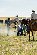 Cowboys, drag calves to the fire, branding, Lazy SR Ranch, Wilsall, Montana, Tyler Sarrazin, Kurt Mraz