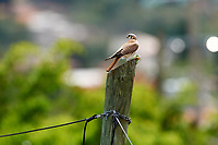 American Kestrel (Falco sparverius) perched on a post feeding on a large grasshopper, San Juan Cosala, Jalisco, Mexico