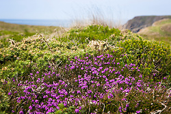 Bell Heather growing on top of the cliffs at The Lizard. Erica cinerea