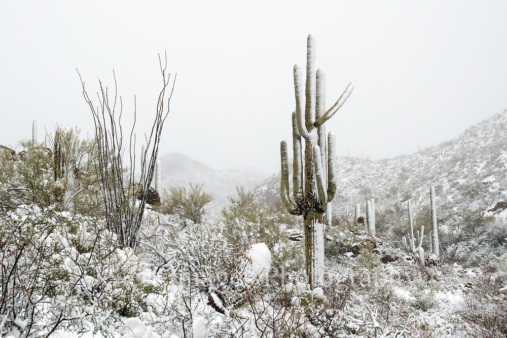 Saguaro in snow, Saguaro National Park, Tucson, Arizona