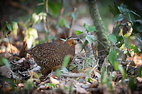 The green-legged partridge (Arborophila chloropus), also known as the scaly-breasted partridge or green-legged hill-partridge, is a species of bird in the Phasianidae family.