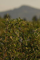 Fresh blueberries are ready for picking in the Okanagan, BC, Canada.