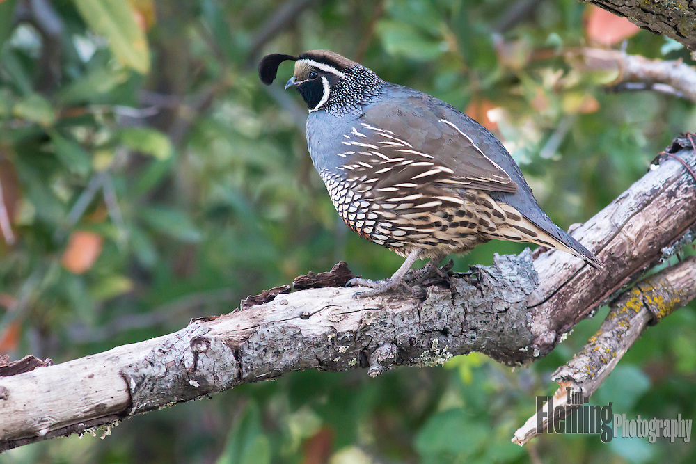 The California quail, also known as the California valley quail , is a small ground-dwelling bird in the New World quail family.