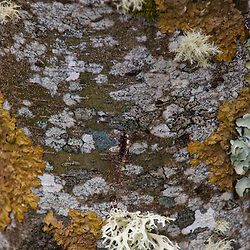 Tree Bark and Lichens, Mt. St. Helens National Volcanic Monument, Washington, US