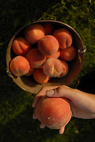 Fresh peaches are picked and placed in a bucket for carrying in the Okanagan, BC Canada