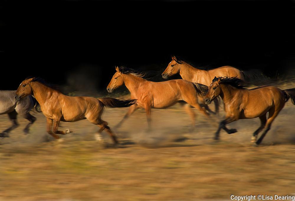 Herd of Wild Mustangs Running
