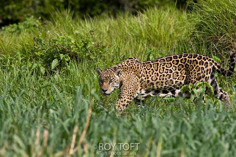 Jaguar (Panthera onca), Brazil.
