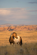 The wild stallion, Traveler, has always been one of my favorites, but he can be quite elusive. This handsome boy is a bit of a loner and can often be found by himself or with other bachelors on the periphery of one of the big herds.