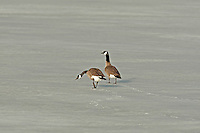 Pair of Canadian geese in a snow covered field.