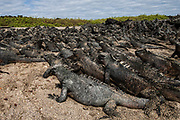 Marine Iguanas (Amblyrhynchus cristatus)<br /> Cabo Douglas, Fernandina Island, GALAPAGOS ISLANDS<br /> ECUADOR.  South America<br /> ENDEMIC TO THE ISLANDS<br /> These are the only true marine lizard in the world. Although not truely social they are highly gregarious, often spending cool nights in tight clusters. As the sun rizes they can be seen sunning themselves on the rocks to heat up before going into the sea to feed. Their black coloration helps them to absorb the sun's energy and to camourflage on the lava rocks.