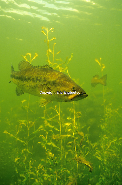 Largemouth Bass<br /> <br /> ENGBRETSON UNDERWATER PHOTO