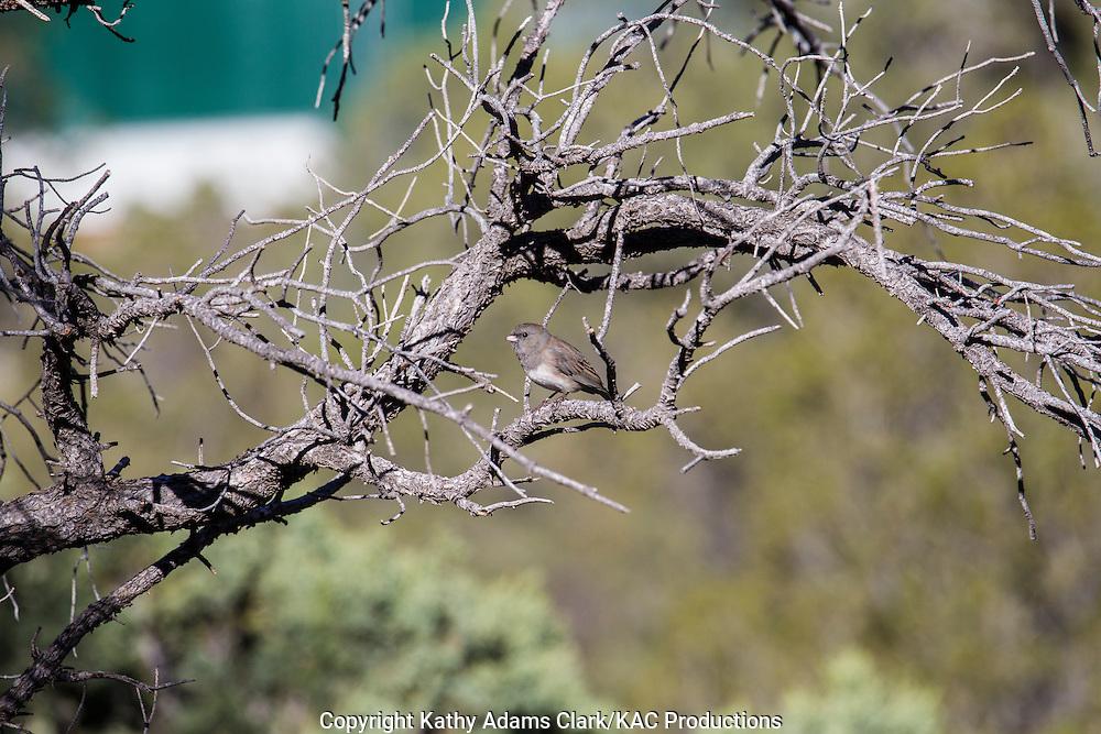 Dark-eyed junco, Junco hyemalis, Slate-colored variety, Big Bend National Park, Texas, winter.