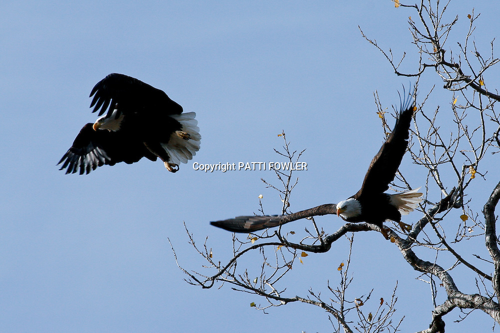 bald eagles launching from tree tops