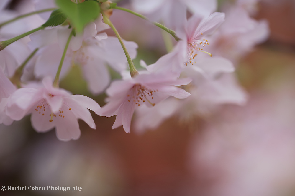 &quot;Windswept Sakura&quot;<br />