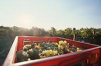 Grapes in basket at vineyard