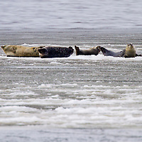 Harbor Seals lay belly up on a large piece of sea ice in Raritan Bay, New York Harbor. A two week stretch of near zero temperatures created pack ice which this seal is obviously enjoying.
