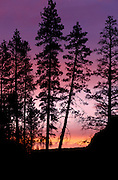 THIS PHOTO IS AVAILABLE FOR WEB DOWNLOAD ONLY. PLEASE CONTACT US FOR A LARGER PHOTO. Idaho. South Fork Boise River, Elmore Co. Ponderosa pines silhouetted against sunset.