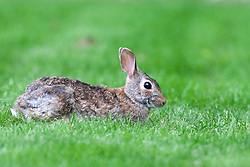 12 May 2012:   Cotton tail rabbit