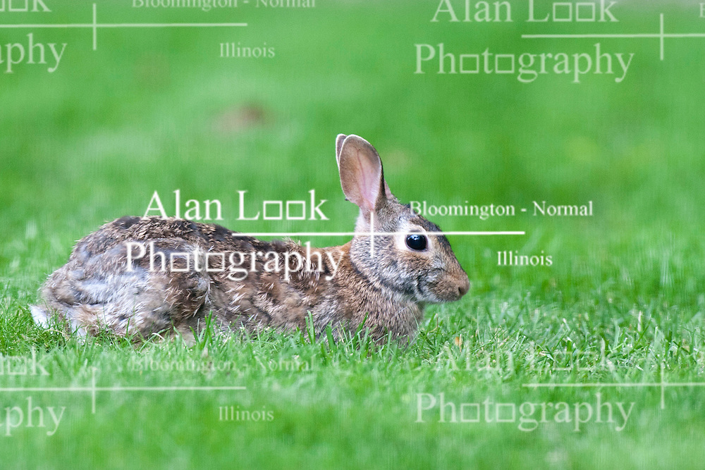 12 May 2012:   Cotton tail rabbit