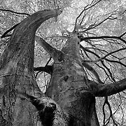J.R.R. Tolkien often roamed the hills and woods of Shropshire, England.  These trees must have been inspirations for Tolkien's Tree Ents.