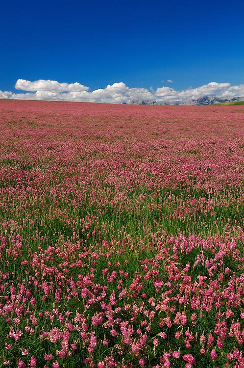 Fields near Bynum, Choteau, Montana, USA