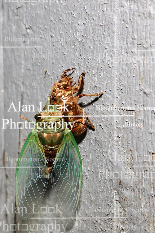 06 Aug 2007: Cicada perched on the vacated shell of the same species. (Photo by Alan Look)
