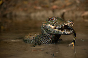 Smooth-fronted or Schneider's Dwarf Caiman (Paleosuchus trigonatus)<br /> Rainforest<br /> Rewa River<br /> GUYANA. South America<br /> RANGE: Amazon Basin of Bolivia, Brazil, Colombia, Ecuador, French Guiana, Guyana, Peru, Suriname and Venezuela.