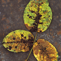 Close up from above of stem of three leaves of Rose or Rosa turning from green to brown lying on rusty metal sheet
