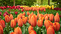 Orange, red, and yellow tulips. Tulip festival at Keukenhof Gardens in Lisse, Netherlands. Image taken with a Leica X2 camera.