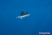Atlantic sailfish, Istiophorus albicans ( considered by some to be a single species worldwide, Istiophorus platypterus ), off Yucatan Peninsula near Contoy Island and Isla Mujeres, Mexico ( Caribbean Sea )