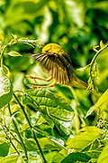 Wellow warbler getting ready to land on a branch