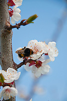 Switzerland. Springtime. Close-up of a bumble bee on apricot blossom.