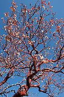 Madrone, (Arbutus xalapensis),  along Chisos Mountain Road, Big Bend National Park, Texas